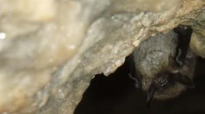 Vespertilion à moustaches en hibernation dans le trou Moreau à Bouffioulx, hiver 2008